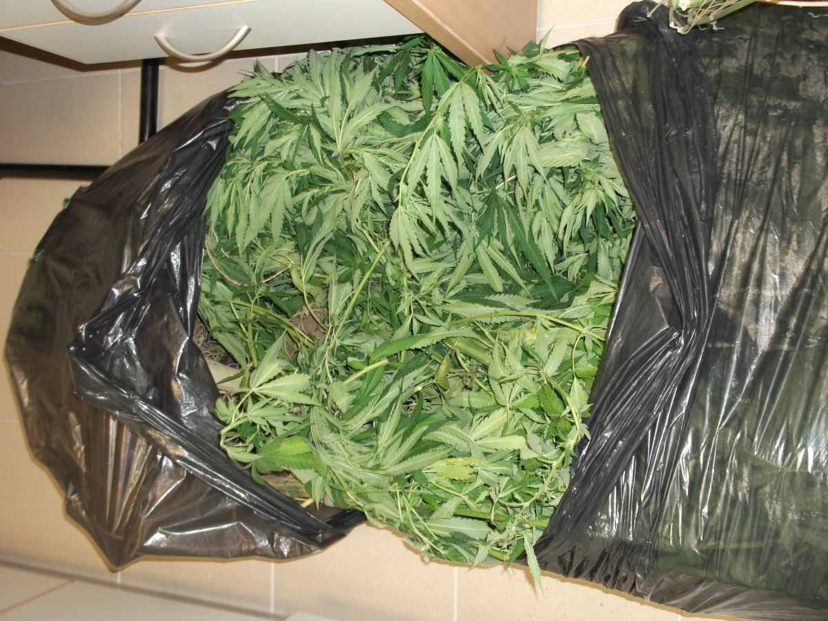 Σύλληψη ημεδαπού για καλλιέργεια και κατοχή κάνναβης. Κατασχέθηκαν 10 δενδρύλλια κάνναβης