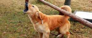 σκυλί γαύγισμα