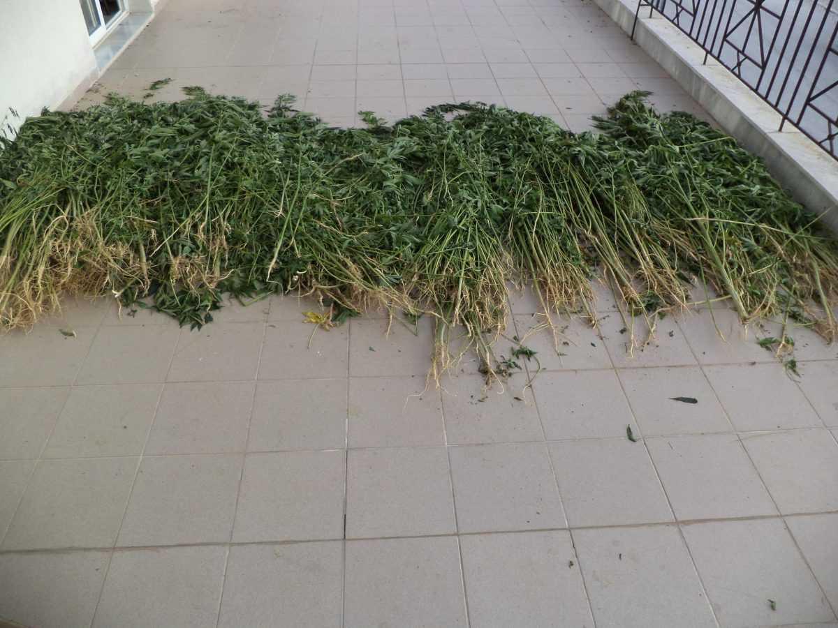 Εντοπίστηκαν και κατασχεθήκαν -1.650- δενδρύλλια κάνναβης σε περιοχή της Φλώρινας