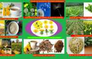ΠΙΚΡΑΛΙΔΑ-ΤΑΡΑΞΑΚΟΣ -Taraxacum officinalis-dandelion. Ιατροφαρμακευτικές ιδιότητες ,χρήσεις ,καλλιέργεια