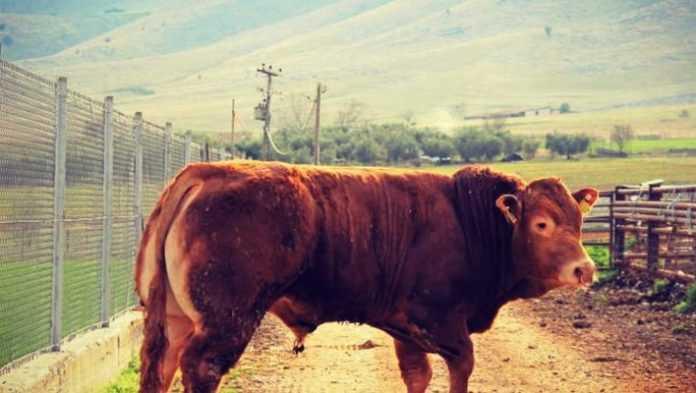 Τη δημιουργία του μοναδικού πανελλαδικού κέντρου για την έκδοση πιστοποιητικών καθαροαιμίας της ελληνικής κόκκινης φυλής βοοειδών στη Δυτική Μακεδονία, ζητούν 27 κτηνοτρόφοι