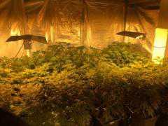 58χρονος σε περιοχή των Γρεβενών μετέτρεψε χώρο του σπιτιού του σε εργαστήριο και καλλιεργούσε 192 δενδρύλλια  κάνναβης