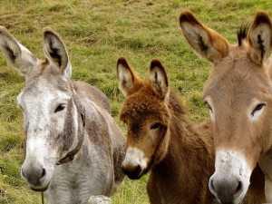 donkeys-218069_960_720