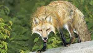 αλεπού λύσσα