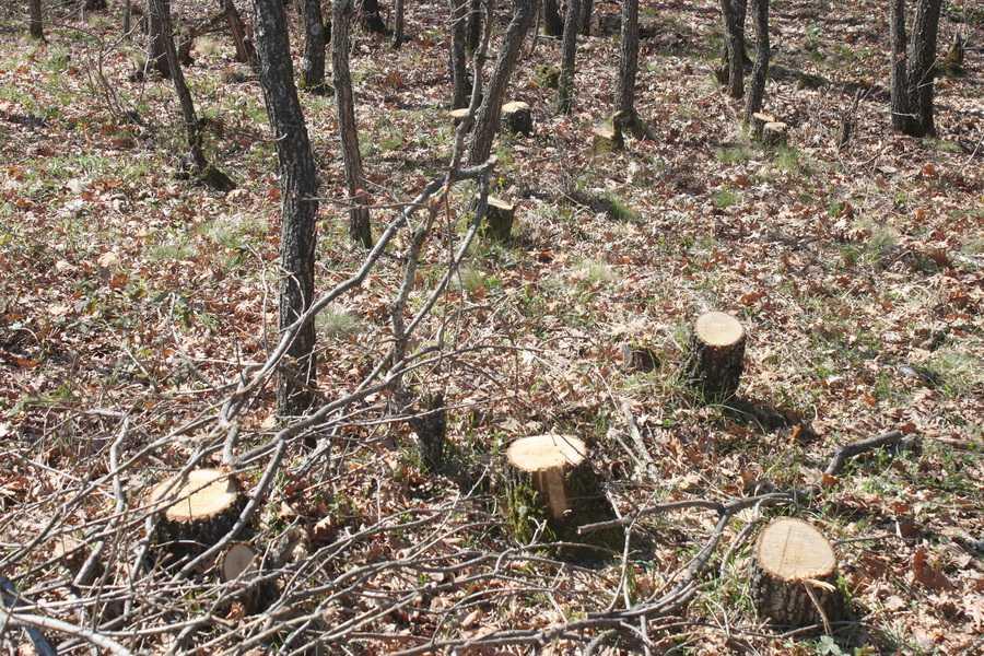 Ασυνείδητοι έκοψαν 40-50 δέντρα βελανιδιάς από δασύλλιο στο 2ο χλμ Μικροβάλτου – Λιβαδερού!
