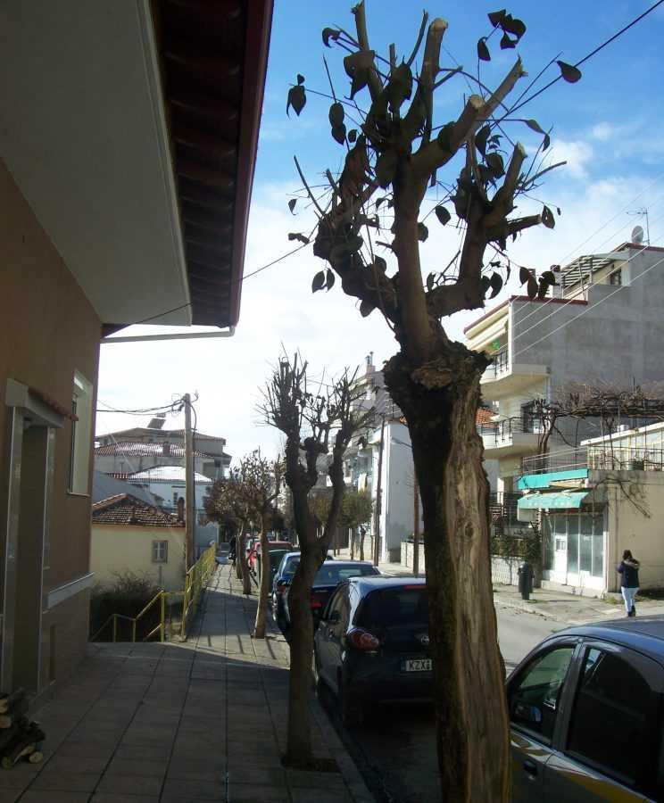 Σοβαρές ζημιές σε καλλωπιστικά δένδρα του Δήμου από τον παγετό του χειμώνα.  Πρόγραμμα επεμβάσεων  με σκοπό τη διασφάλιση της προστασίας του περιβάλλοντος και των δημοτών της Κοζάνης