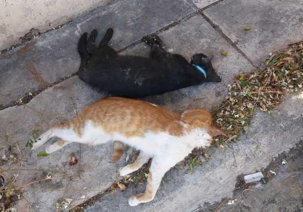 Ο «δολοφόνος με τις φόλες» χτύπησε στην Αγράφων και Εμμ. Στεργίου στην Κοζάνη.  Δύο συμπαθέστατα στη γειτονιά γατάκια νεκρά… τα θύματά του!