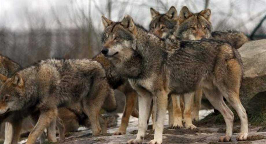 Περιστατικά εμφάνισης λύκων σε περιαστική περιοχή της πόλης Κοζάνης