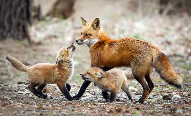 Εμβόλια - δολώματα (με ρίψη από αέρος), με σκοπό την κατανάλωσή τους από τις αλεπούδες για την αντιμετώπιση της λύσσας