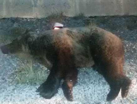 Περιστατικό θανάτωσης αρκούδας από τροχαίο συμβάν στην Εγνατία Οδό  στην περιοχή Σιάτιστας Δήμου Βοΐου