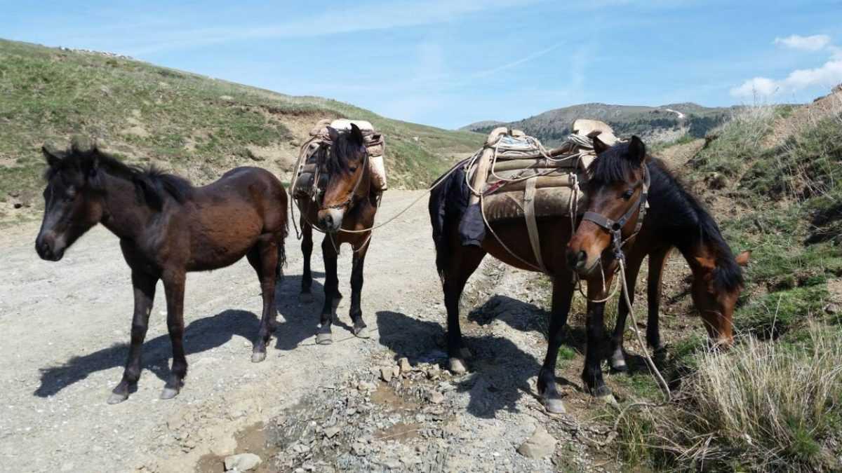 Εμφάνιση αγρίων αλόγων στο δρόμο προς Ερμακιά Εορδαίας