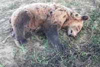 Νεκρό αρκουδάκι εντοπίστηκε στη θέση «Κλειδί» Αμυνταίου