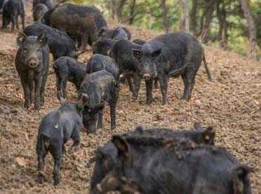 Ολοσχερής καταστροφή των σιτηρών και άλλων καλλιεργειών στην Αυγή Κοζάνης από τις επιδρομές αγριογούρουνων και…αδιαφορία τοπικών βουλευτών και αρχόντων - καμία αποζημίωση!!!