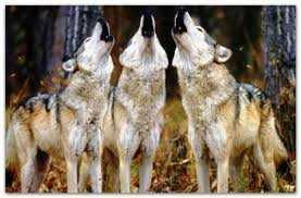Περιστατικά εμφάνισης λύκων στην πόλη της Φλώρινας
