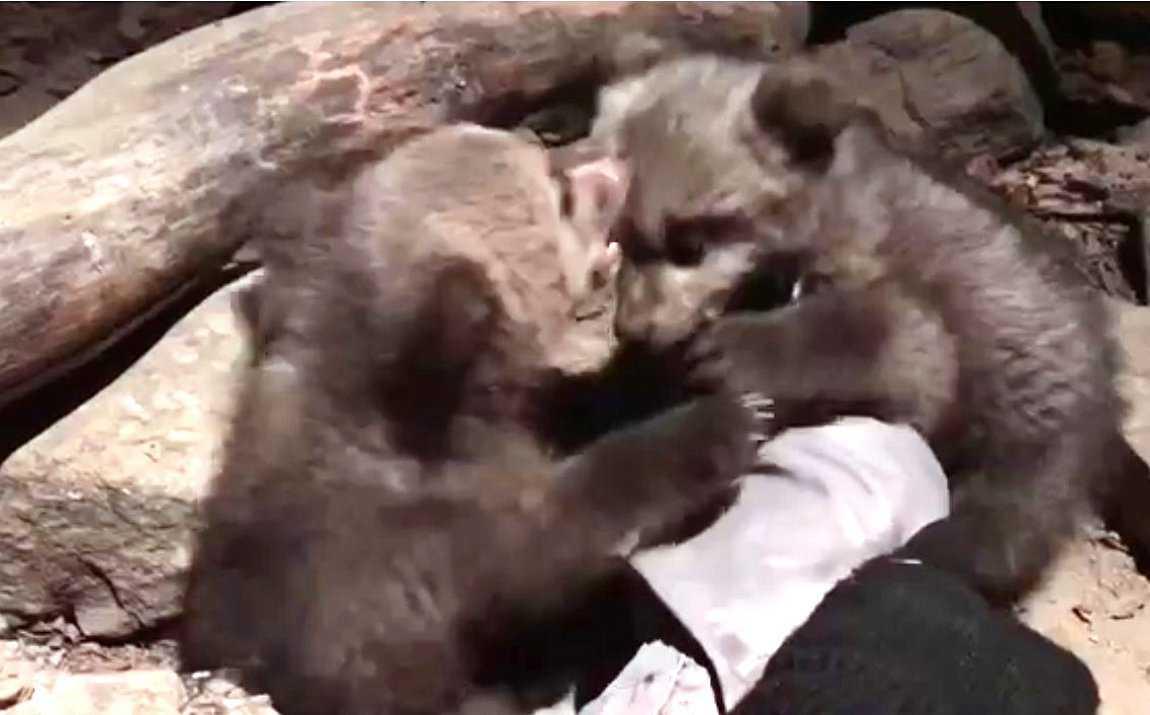 Ιδιώτης στην Οινόη Κοζάνης εντόπισε δύο ορφανά αρκουδάκια. τα κράτησε για μία περίπου εβδομάδα πριν ειδοποιήσει τον ΑΡΚΤΟΥΡΟ.