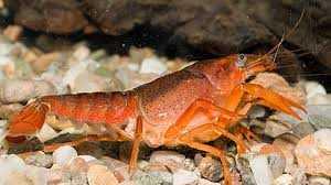 Απαγόρευση αλιείας της καραβίδας στα εσωτερικά ύδατα της ΠΕ Κοζάνης