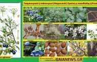 ΦΥΤΑ ΣΤΟΥΣ ΑΓΡΟΥΣ ΚΑΙ ΤΟΥΣ ΚΗΠΟΥΣ ΤΗΣ ΠΑΛΙΑΣ ΚΟΖΑΝΗΣ Τσαμπουρνιά ή τσάπουρνο -Μαμουσιά- Blackthorn - Προύνη η ακανθώδης - Prunus spinosa. Μάρθα Στ. Καπλάνογλου Γεωπόνος Τ