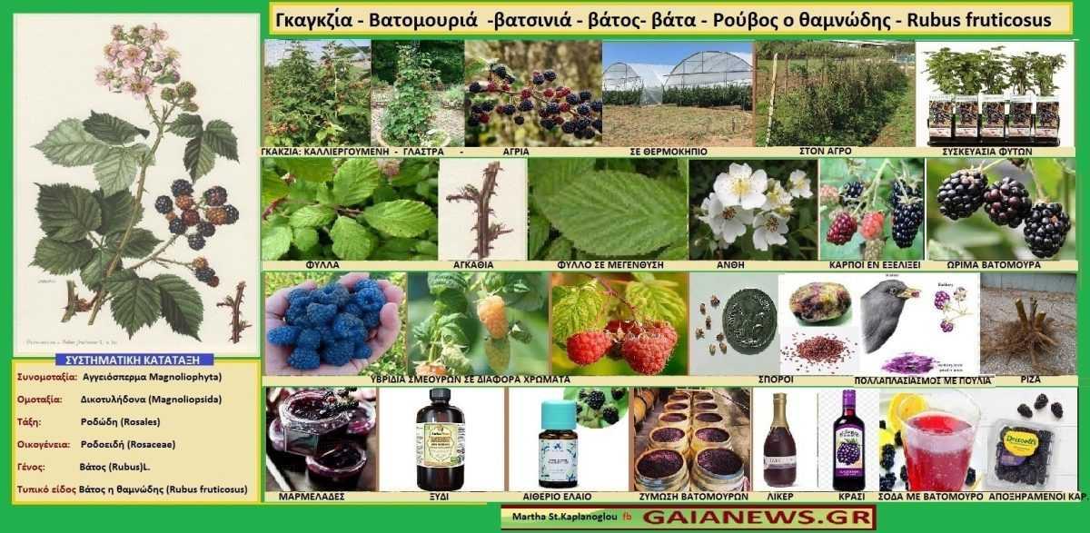 ΦΥΤΑ ΑΠΟ ΤΟΥΣ ΑΓΡΟΥΣ & ΤΙΣ ΠΑΛΙΕΣ ΑΥΛΕΣ ΤΗΣ ΚΟΖΑΝΗΣ. Γκαγκζία - Βατομουριά -βατσινιά - βάτος - βάτα - Ρούβος ο θαμνώδης - Rubus fruticosus Μάρθα Στ. Καπλάνογλου Τεχνολόγος - Γεωπόνος