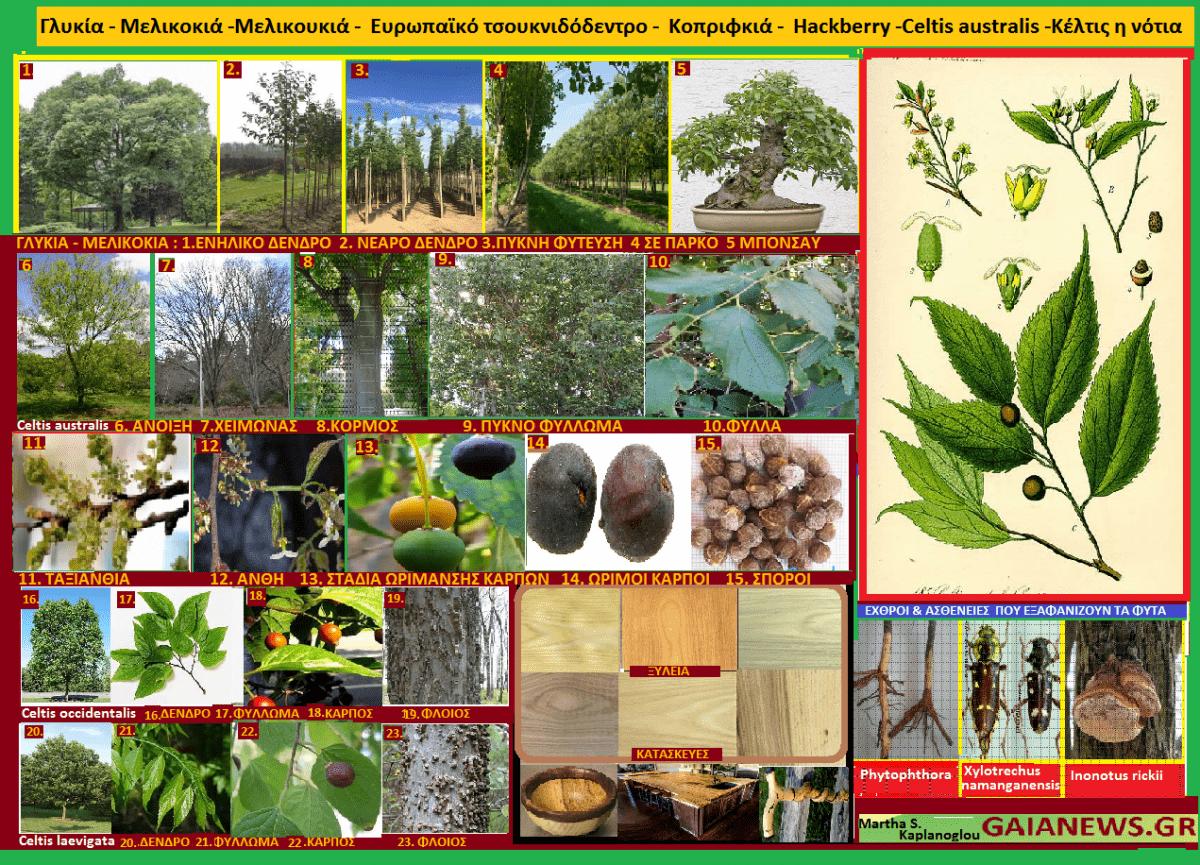 Φυτά από τους αγρούς και τις αυλές της παλιάς Κοζάνης.  Γλυκιά- Μελικοκιά -Μελικουκιά - Ευρωπαϊκό τσουκνιδόδεντρο - Κοπριφκιά-- Ηackberry -Celtis australis -Κέλτις η νότια. Μάρθα Σ. Καπλάνογλου, Τ. Γεωπόνος.