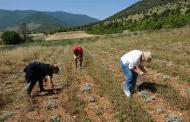 Ανάδειξη της καλλιέργειας των Αρωματικών Φαρμακευτικών Φυτών της περιοχής με στοχευμένες δράσεις από το Δήμο Κοζάνης