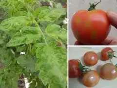 Εμφάνιση του επιβλαβούς οργανισμού Tomato Brown Rugose Fruit Virus – ToBRFV (Ιός της καστανής ρυτίδωσης των καρπών της τομάτας) στην Ελλάδα
