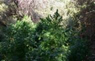 Καλλιεργούσε 97 δενδρύλλια κάνναβης σε δασώδη περιοχή των Γρεβενών και σε αποθήκη πλησίον της οικίας του. Συνελήφθη 55χρονος