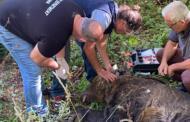 Εντοπισμός παγιδευμένης αρκούδας στην επαρχιακή οδό Φλώρινας-Κλεινών του Δήμου Φλώρινας. Απεγκλωβίστηκε και μεταφέρθηκε στο δημοτικό δάσος της Τ.Κ. Κλαδορράχης