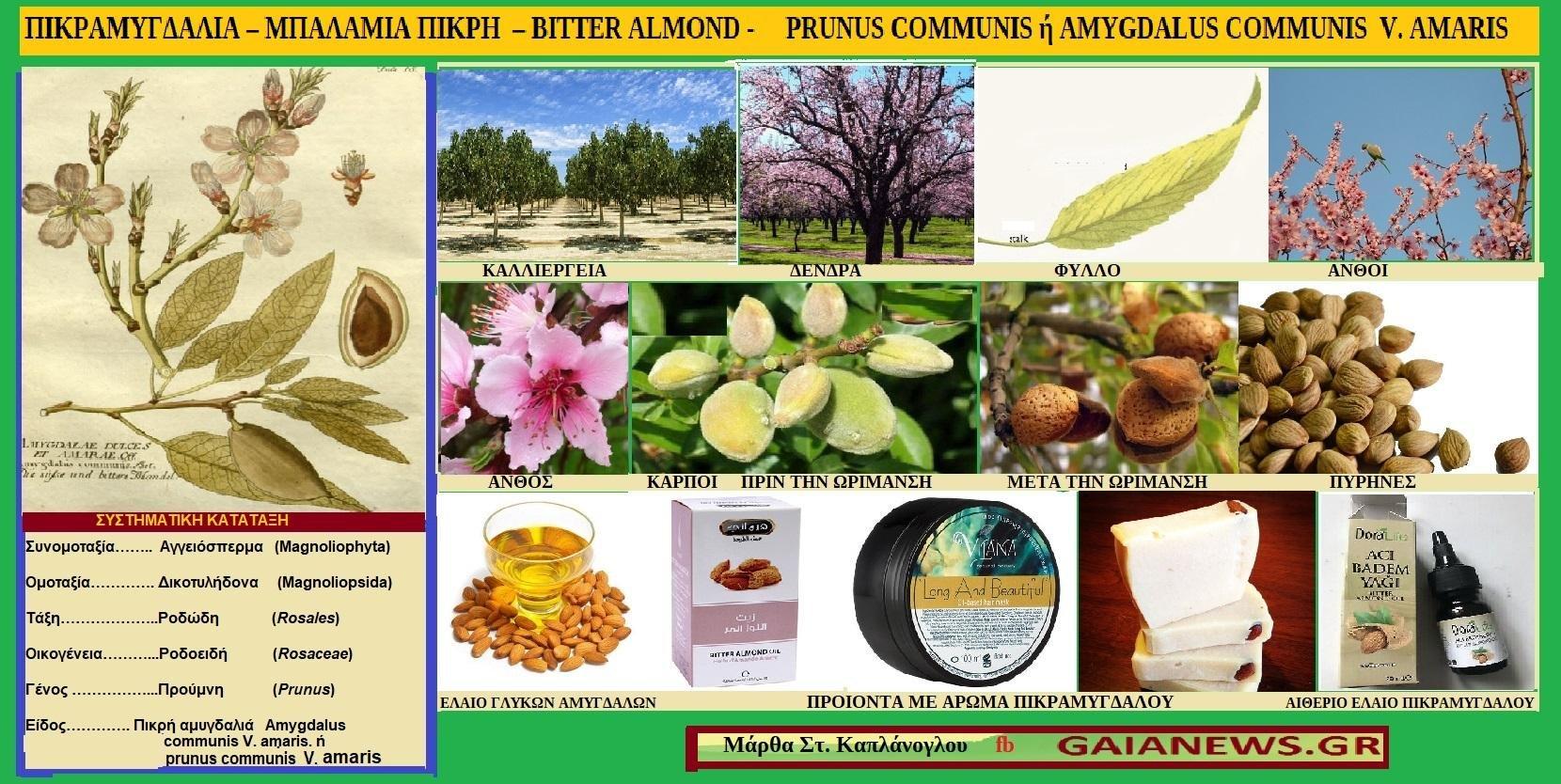 Φυτά από τους αγρούς και της παλιές αυλές της Κοζάνης. ΜΠΑΛΑΜΙΑ & ΜΠΑΛΑΜΙΕΣ.  ΠΙΚΡΑΜΥΓΔΑΛΙΑ – ΜΠΑΛΑΜΙΑ ΠΙΚΡΗ – BITTER ALMOND - PRUNUS COMMUNIS ή AMYGDALUS COMMUNIS V. AMARIS