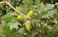 Οι δρύες-βελανιδιές ή «γιμιραδια» οπως τις ονόμαζαν οι παλιότεροι στο χωριό μας , ήταν το ιερό δέντρο των αρχαίων Μακεδόνων. Γιώργος Μητλιάγκας